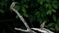 물총새 젊은 새들의 영역 다툼 40333947