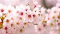 ดอกซากุระบาน,ซากุระบาน,ฤดูใบไม้ผลิ 40345781
