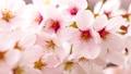 ดอกซากุระบาน,ซากุระบาน,ฤดูใบไม้ผลิ 40345782