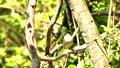 숲에서 짹짹 꾀꼬리 (소리가) 40350275