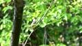 숲에서 짹짹 꾀꼬리 (소리가) 40350276