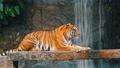 タイガー トラ 虎の動画 40370581