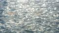 연어, 치어, 어린 물고기 40410597