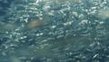 연어, 치어, 어린 물고기 40410598