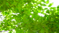 Fresh green, sunbeams, super slow, 8x speed, 240 fps 40435598