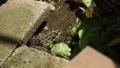 青蛙 家畜 两栖的 40438595