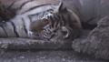 タイガー トラ 虎の動画 40474357