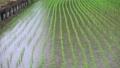 田植え後 水田 雨の日  40485777