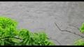 新緑の木々 雨 池 梅雨イメージ 40485905