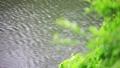 新緑の木々 雨 池 梅雨イメージ 40485910