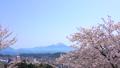 桜咲く春の米子城跡と大山 40540080