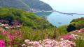 azalea, azaleas, bloom 40540081