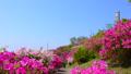 春の美保関 関の五本松公園のツツジ 40540083