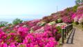 春の美保関 関の五本松公園のツツジと美保湾 40540085