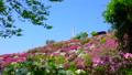 春の美保関 関の五本松公園のツツジ 40540086