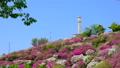 春の美保関 関の五本松公園のツツジ 40540087