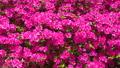 rose bay, azalea, azaleas 40540088