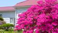 rose bay, azalea, azaleas 40540090