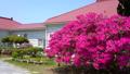 rose bay, azalea, azaleas 40540091