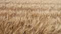 風に揺れる麦の穂 40600947