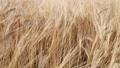 風に揺れる麦の穂 40600948