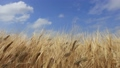風に揺れる麦の穂 40600949