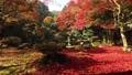 maple, yellow leafe, fallen leaves 40620447
