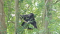 Siamang Gibbon on tree in topical rain forest. 40690063