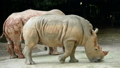 Rhinos eating grass in the zoo 40725292