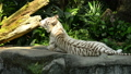 White tiger resting in the zoo 40727717