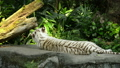 White tiger sleeping on a rock 40727719