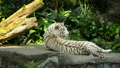White tiger went to sleep in the zoo 40727720