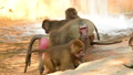 Hamadryas baboon family in the zoo 40727721