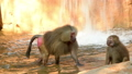 Hamadryas baboon family in the zoo with waterfall  40727722