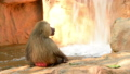 Hamadryas Baboon closeup sitting alone in rocky co 40727723