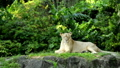 Lion relaxes on grassy area 40727903