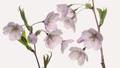 サクラ 桜 開花の動画 40769358