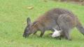 White Bennett's Wallaby baby in abdominal pouch. 40770703