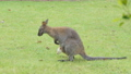 White Bennett's Wallaby baby in abdominal pouch. 40770706