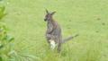 White Bennett's Wallaby baby in abdominal pouch. 40770708