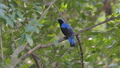 Asian Fairy Bluebird bird in tropical rain forest. 40771197