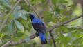Asian Fairy Bluebird bird in tropical rain forest. 40771198