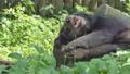 Young Asian Black Bear sleeping. 40771200