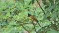Black-crested Bulbul bird in tropical rain forest. 40771658