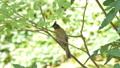 Black-crested Bulbul bird in tropical rain forest. 40771659