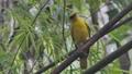 Black-naped Oriole bird in tropical rain forest. 40783214