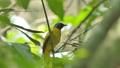 Sooty-headed bulbul bird on branch. 40783217