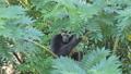 Pileated Gibbon on tree 40783453
