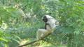 Pileated Gibbon on tree 40783454