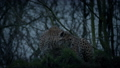 Cheetah Crouches And Stalks Off In The Evening 40795615